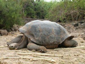 Die bekannte Riesenschildkröte (Quelle: Fotolia)