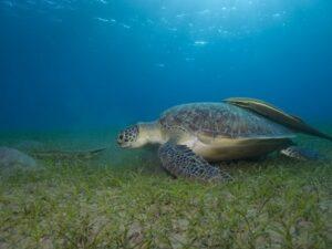 Tauchen mit den Schildkröten
